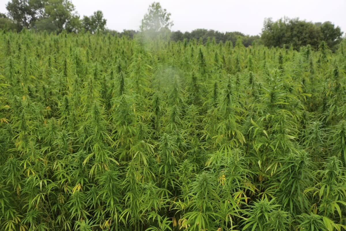 Hemp for Victory im totalen Hanfverbot
