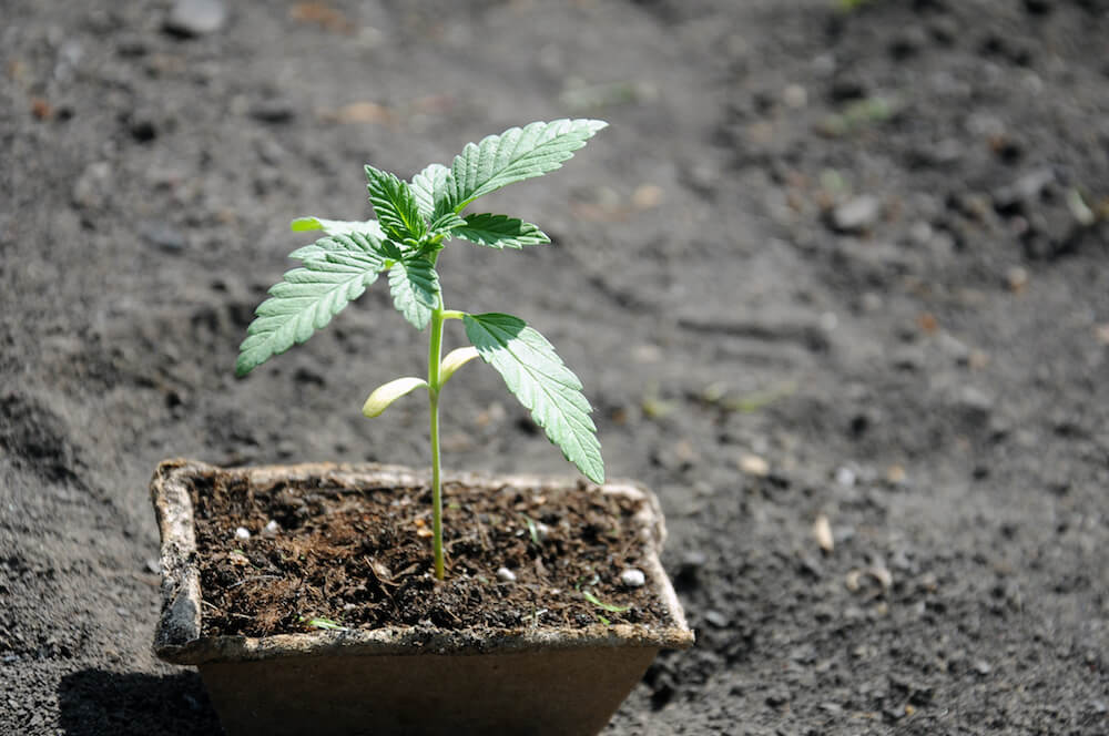 seedling of cannabis in planting pot